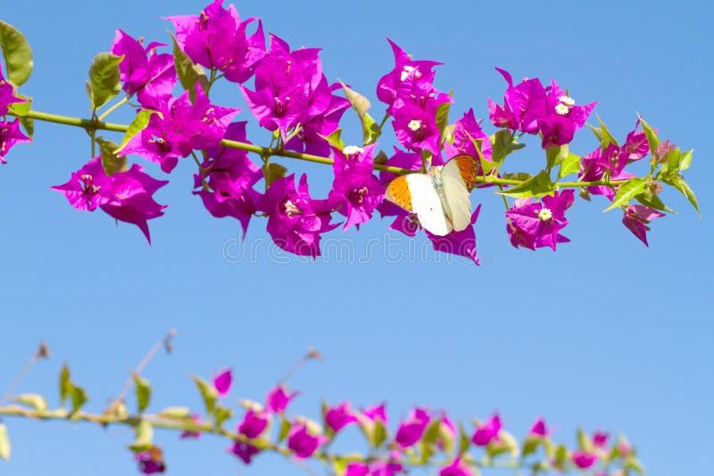 Papillon alimentant des fleurs rouges photo libre de droits