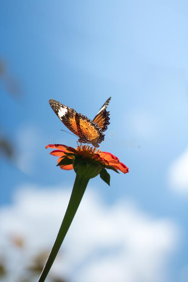 Papillon alimentant sur des fleurs de cosmos photographie stock libre de droits