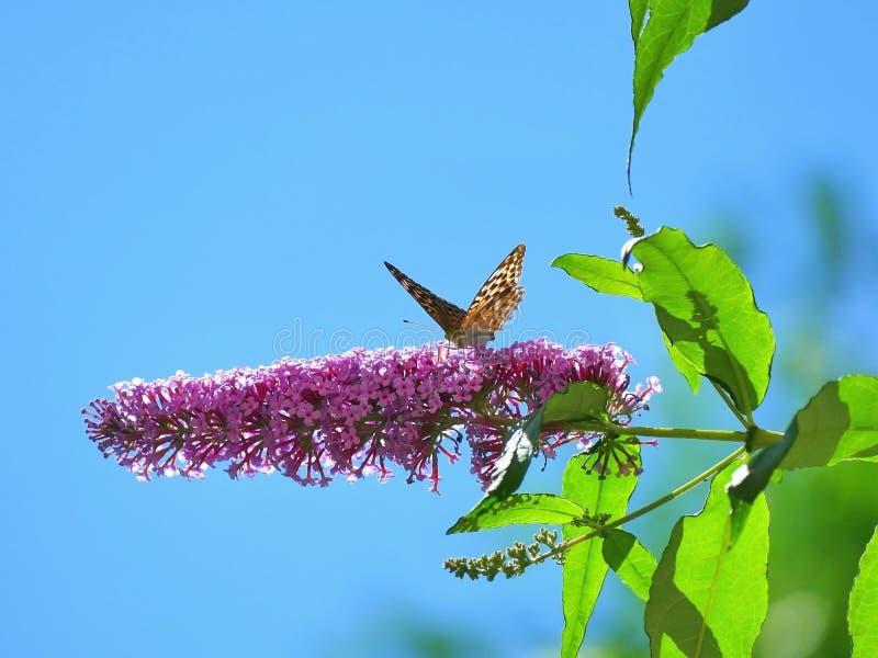 Papillon alimentant sur le buddleia Buddleiaceae, buddleia, Butterflyb photos libres de droits