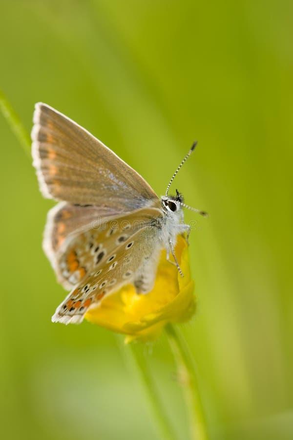Papillon alpin de bruyère photo stock