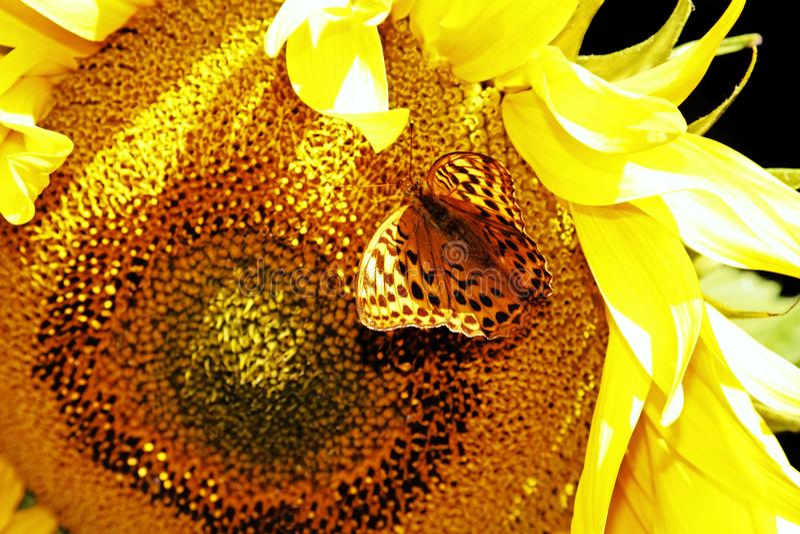 papillon Argent-lavé de fritillaire sur un tournesol image libre de droits