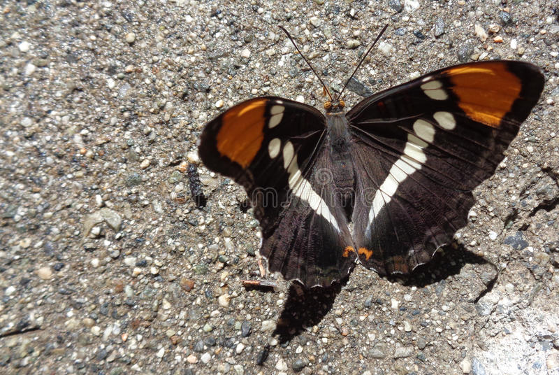Papillon assoiffé - soeur de la Californie - californica d'Adelpha - eau potable du béton humide 2 photos libres de droits