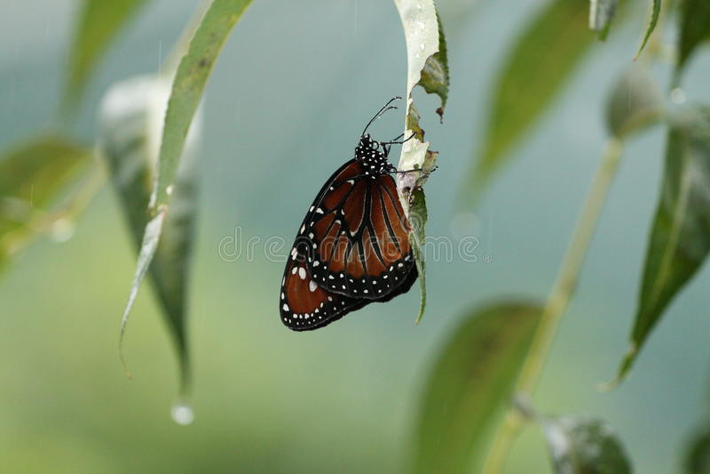 Papillon attendant la pluie photo libre de droits