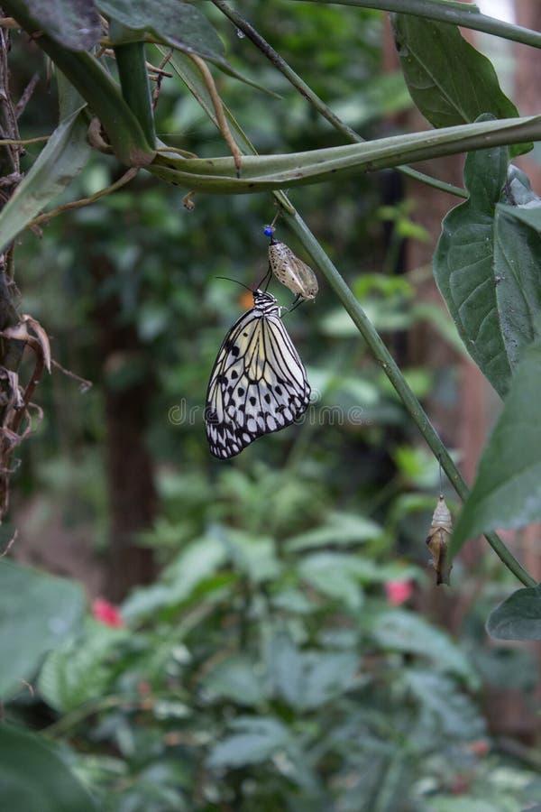 Papillon avec la larve photographie stock
