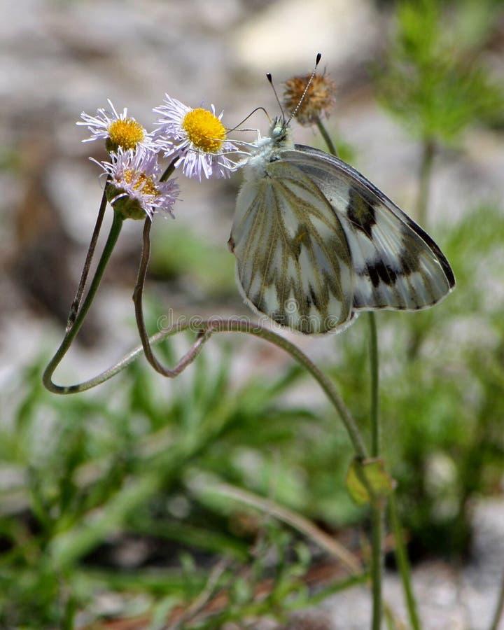 Papillon blanc à carreaux pollinisant des Wildflowers de Fleabane photo stock