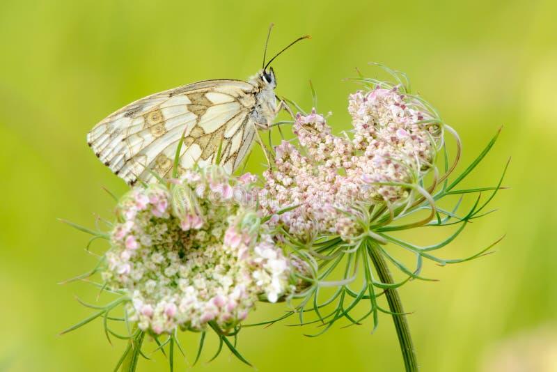 Papillon blanc marbré se reposant sur le plan rapproché de fleurs photo libre de droits