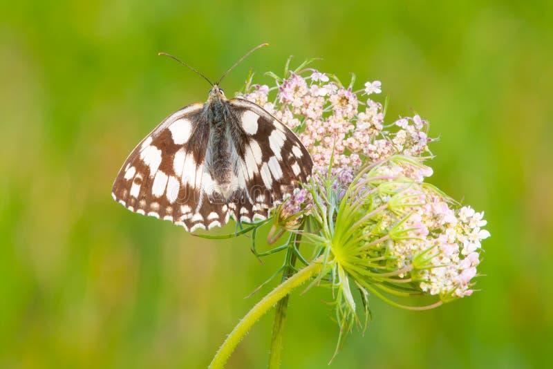 Papillon blanc marbré se reposant sur le plan rapproché de fleurs photographie stock libre de droits