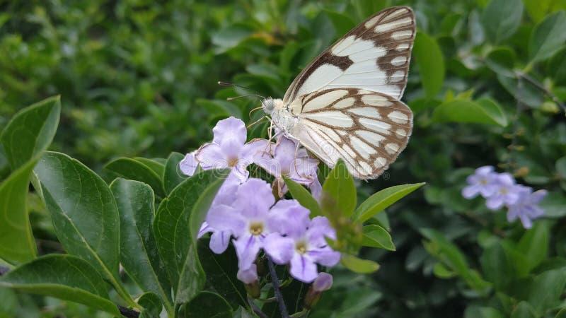 Papillon blanc pionnier sur une fleur image libre de droits