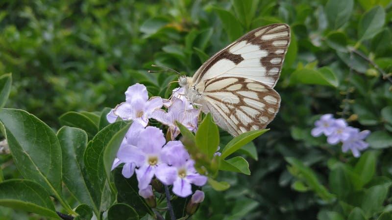 Papillon blanc pionnier sur une fleur photographie stock libre de droits