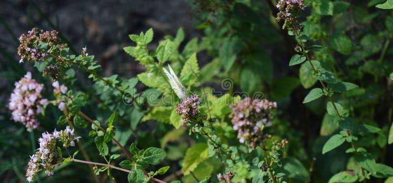 Papillon blanc sur la fleur d'origan images libres de droits