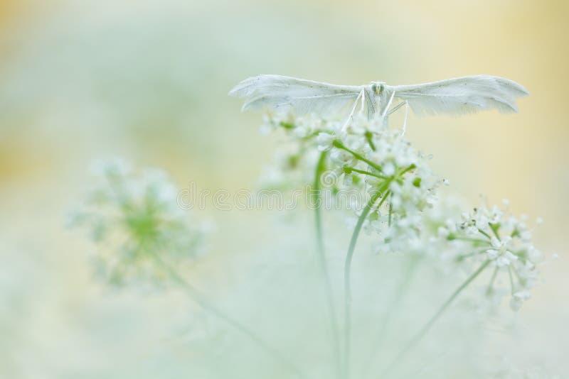 Papillon blanc sur le fond mou Mites blanches de plume, pentadactyla de Pterophorus au foyer mou photographie stock libre de droits