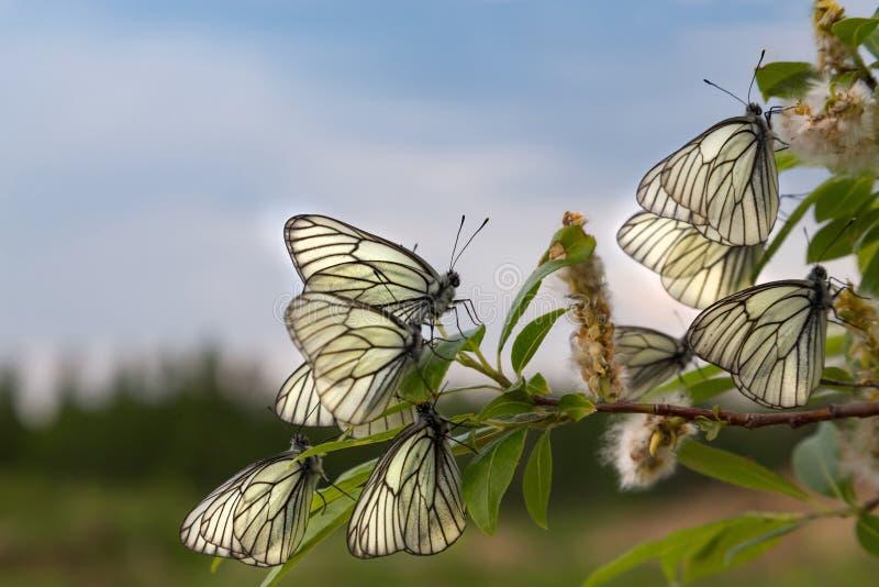Download Papillon Blanc Sur Un Fond De Ciel Bleu Photo stock - Image du antenne, repos: 76087498