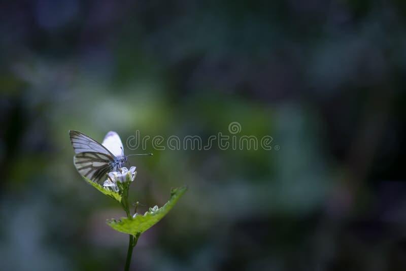 Papillon blanc sur une feuille photos stock