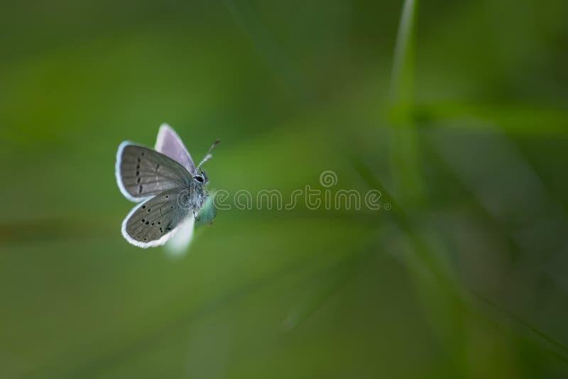 Papillon blanc sur une lame image stock