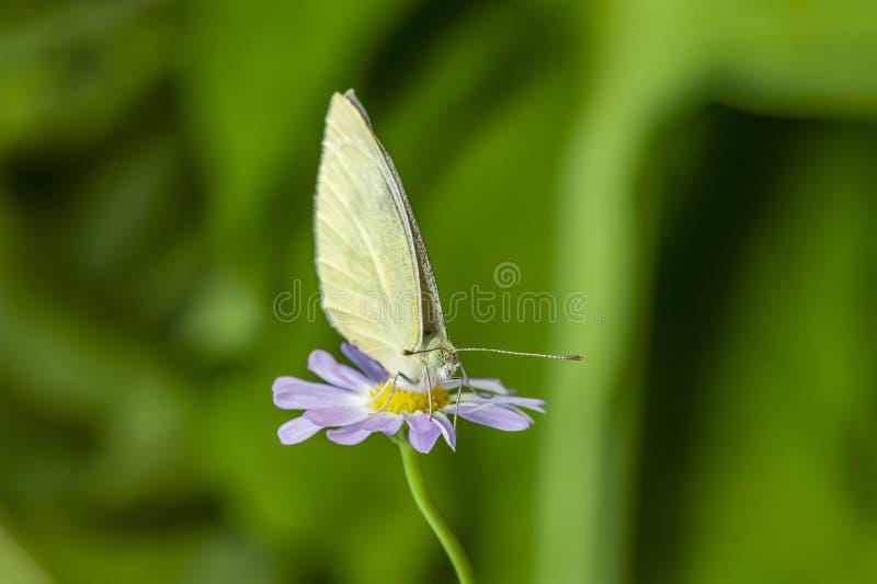 Papillon blanc vein? par vert image stock