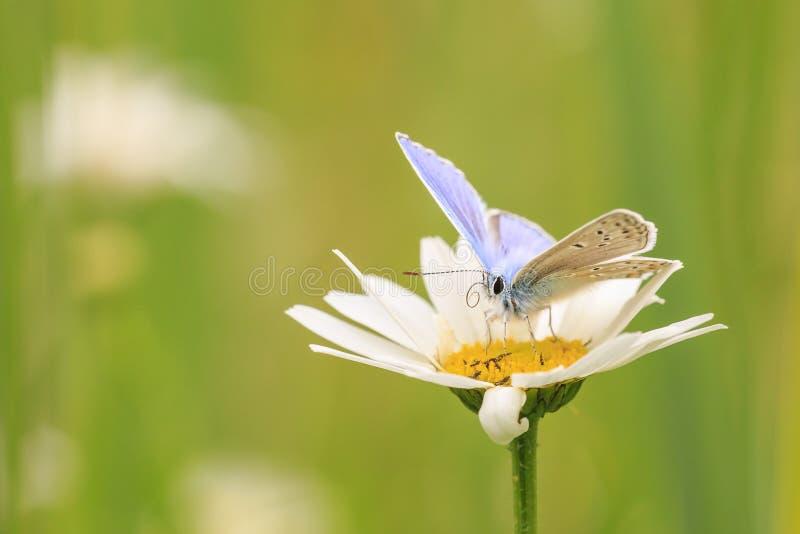 Papillon bleu commun masculin Polyommatus Icare pollinisant le plan rapproché de vue de côté photo stock