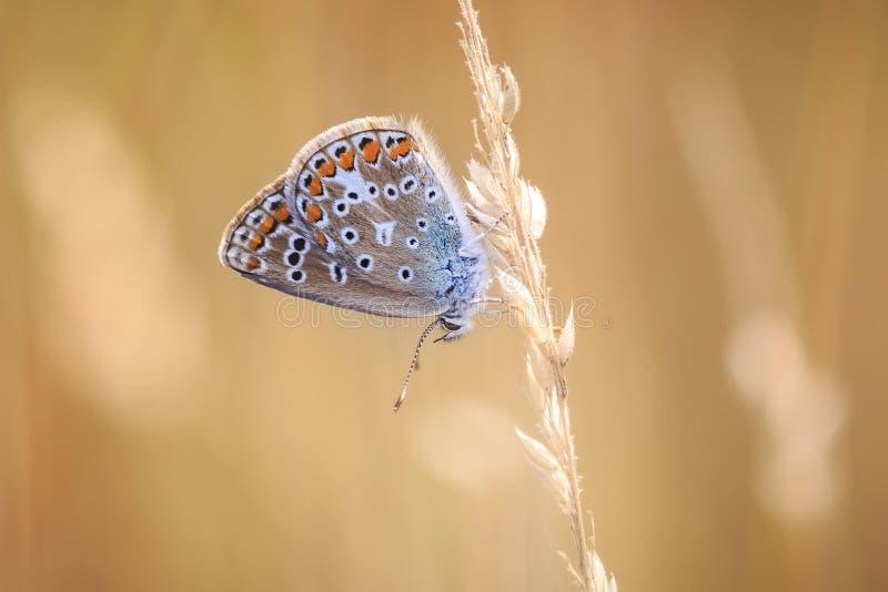 Papillon bleu commun, Polyommatus Icare se reposant dans le coucher du soleil coloré image libre de droits