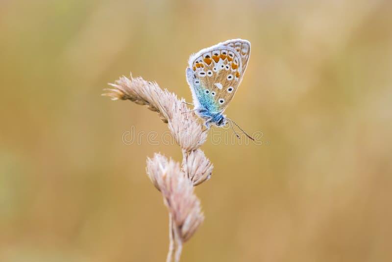 Papillon bleu commun, Polyommatus Icare se reposant dans le coucher du soleil color? photo stock