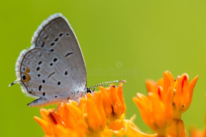 Papillon bleu coupé la queue oriental sur l'mauvaise herbe de papillon 3 photo libre de droits