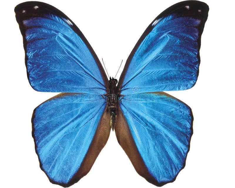 Papillon bleu d'isolement sur le blanc photos libres de droits