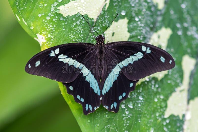 Papillon bleu de morpho ou l'empereur, peleides de morpho se reposant sur une fleur photos libres de droits