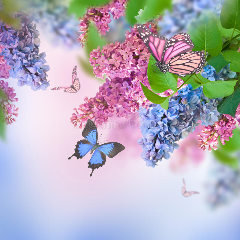 Papillon bleu et rose lilas image stock