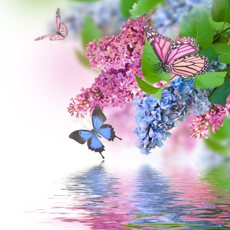 Papillon bleu et rose lilas images libres de droits