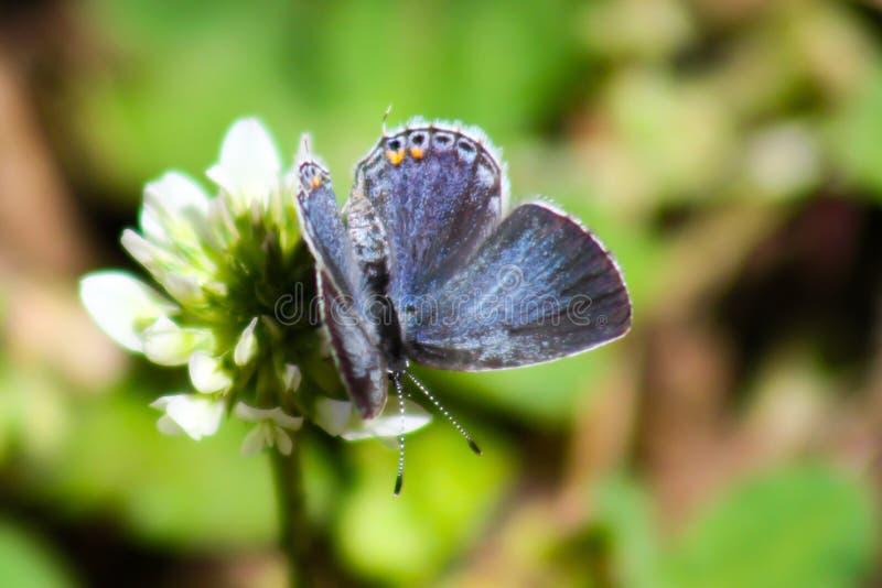 Papillon bleu Oriental-coupé la queue image stock