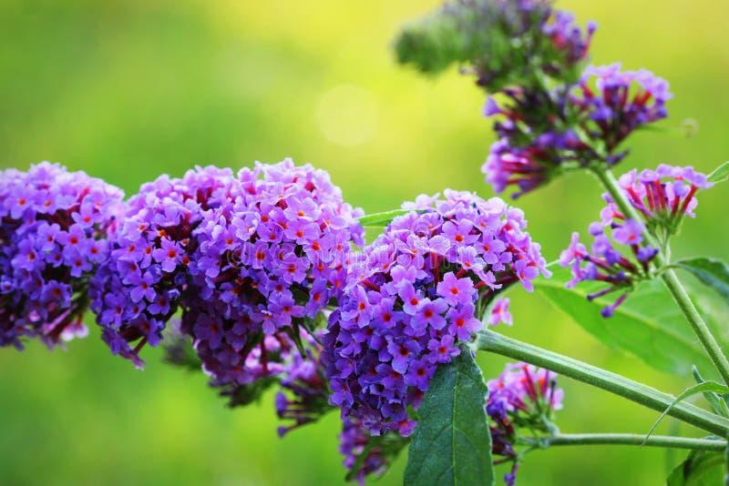 Papillon-Bush éclatant, davidii de Buddleja, avec des papillons suçant le miel photo libre de droits