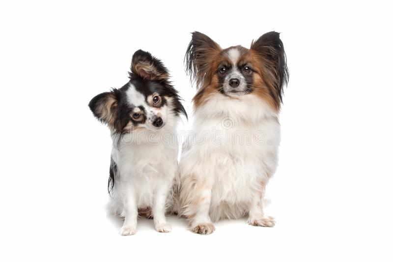 Papillon or Butterfly Dog royalty free stock image