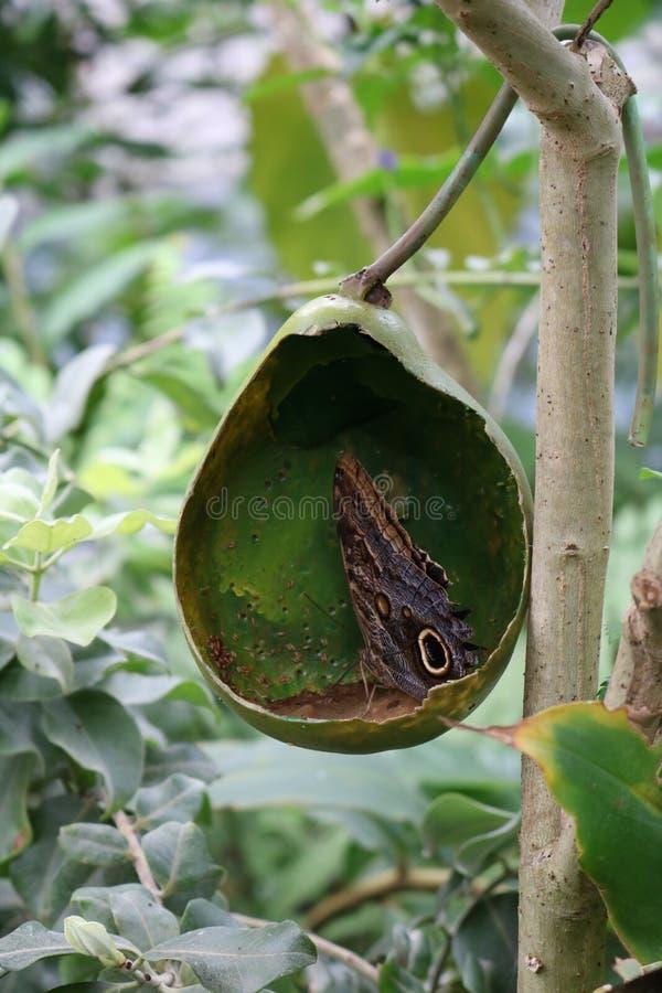 Papillon buvant encore images stock