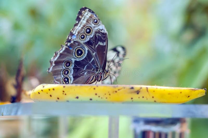 Papillon coloré assis sur une banane jaune photos libres de droits