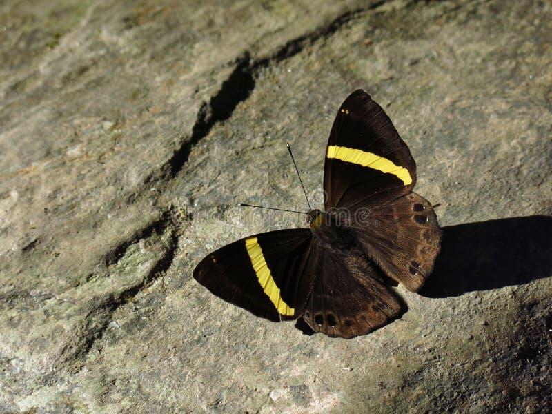 Papillon coloré par jaune de Brown image libre de droits