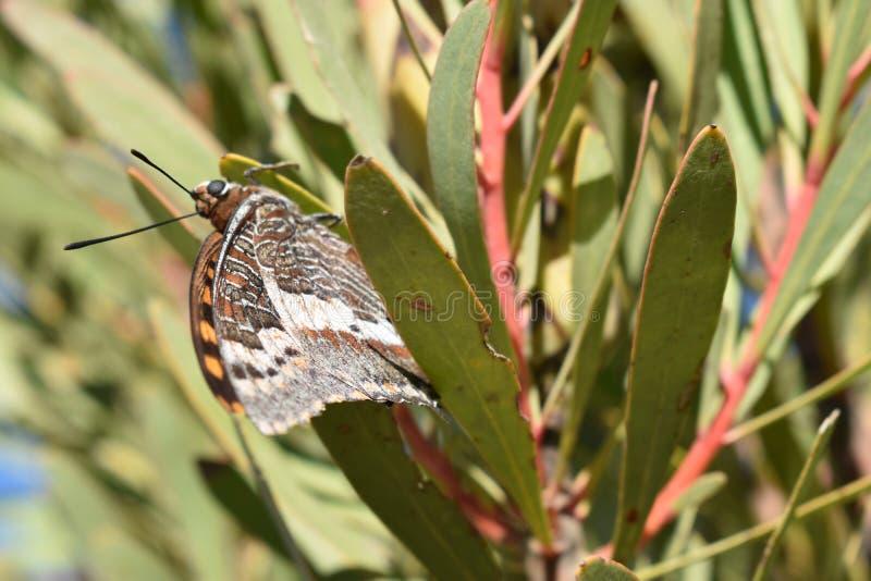 Papillon coloré se reposant dans un arbre sur le chemin au passage de Swartberg dans Oudtshoorn en Afrique du Sud photo stock