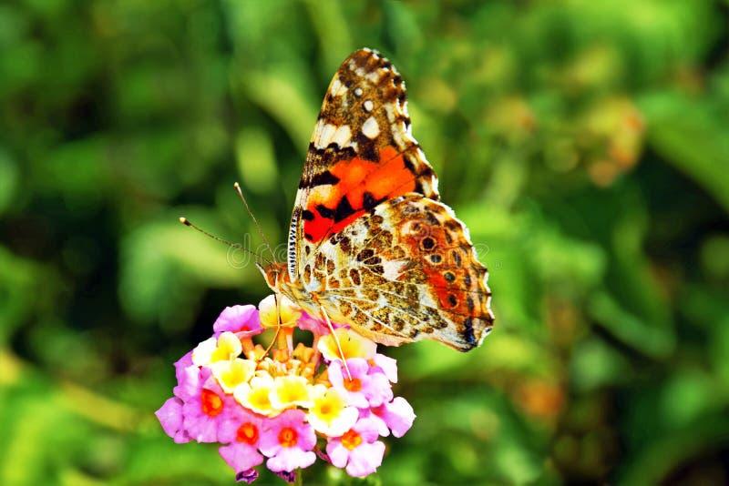 Papillon coloré sur une fleur image libre de droits