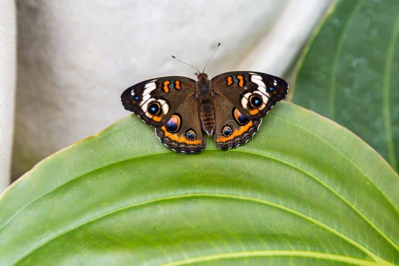 Papillon commun de maronnier américain photo stock