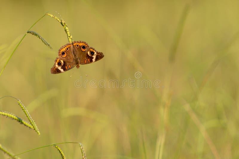 Papillon commun de maronnier américain accrochant dans le domaine d'herbe au coucher du soleil photos libres de droits