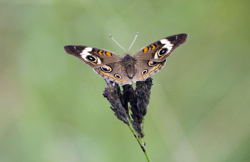 Papillon commun de maronnier américain, la Géorgie, Etats-Unis photos libres de droits