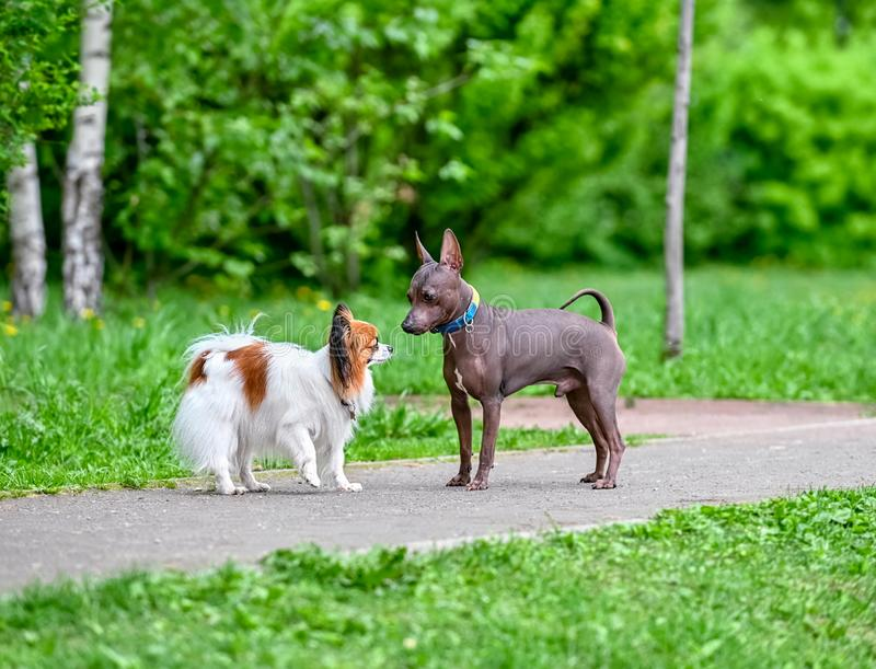 Papillon Continental Toy Spaniel and American Hairless Terriers dogs meeting on park path royalty free stock images