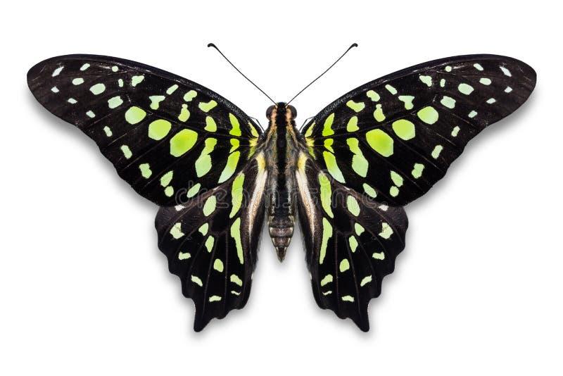 Papillon coupé la queue d'agamemnon de Jay Graphium photographie stock libre de droits