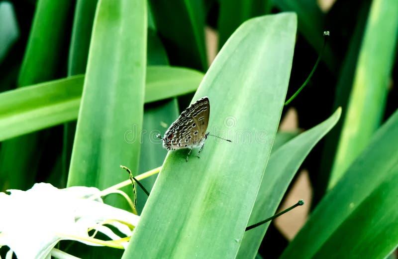 Papillon couper la queue-bleu oriental sur la plante verte photo libre de droits