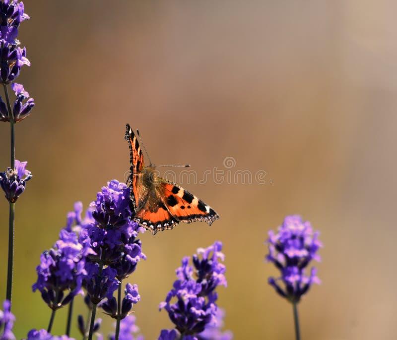 Papillon d'écaille images libres de droits