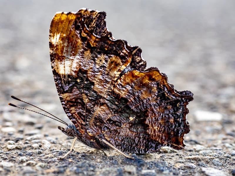 Papillon d'écaille de Compton sur le trottoir 3 photos stock