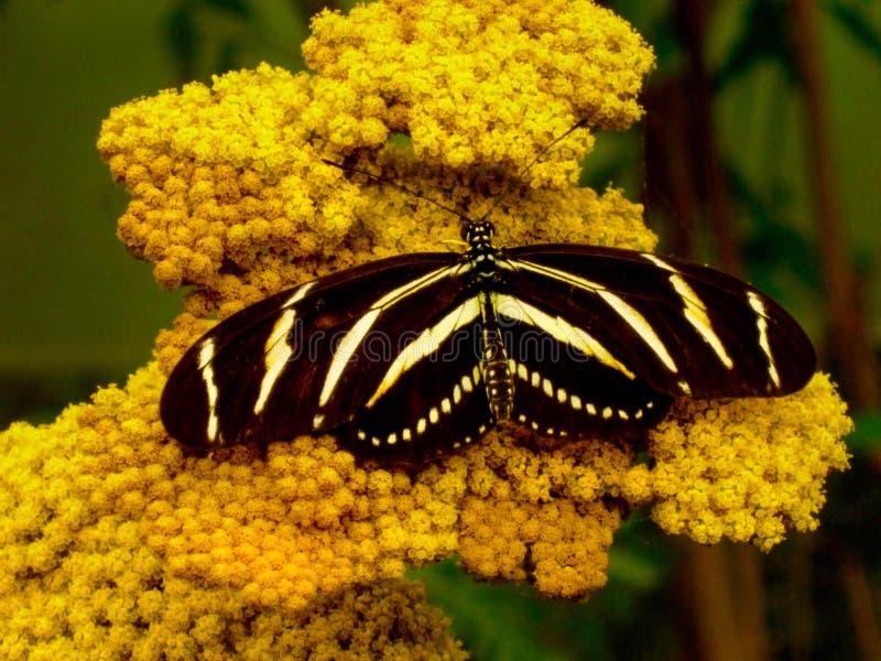 Papillon d'état de Longwing de zèbre de la Floride image stock