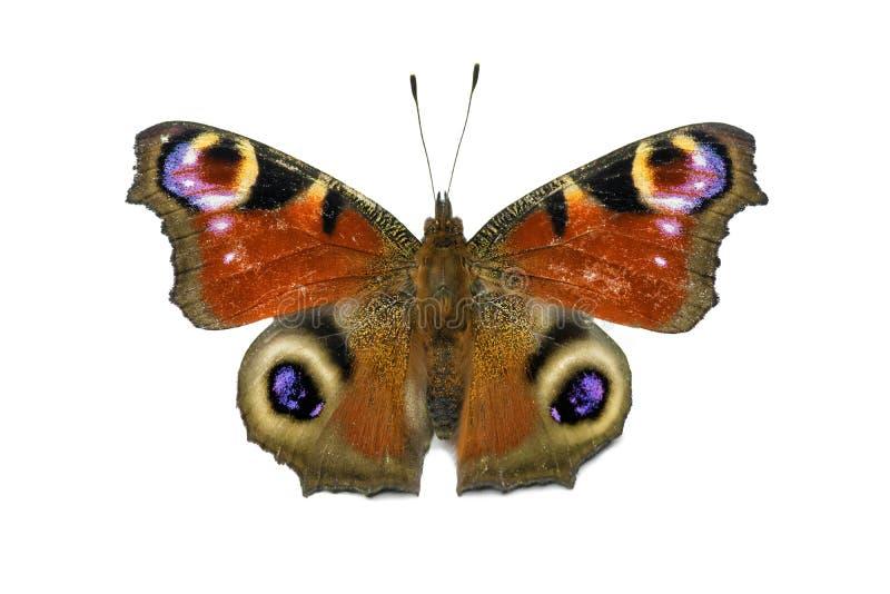 Papillon d'Aglais E/S d'isolement image stock