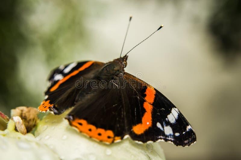 Papillon d'amiral rouge se reposant sur une fleur photos libres de droits