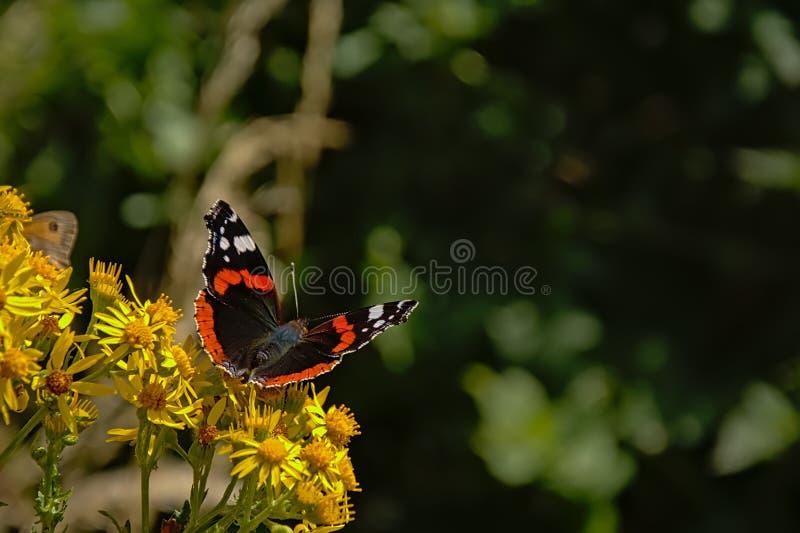 Papillon d'amiral rouge se reposant sur une fleur jaune, foyer sélectif photographie stock libre de droits