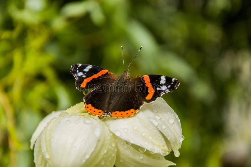 Papillon d'amiral rouge sur une fleur de yucca photographie stock libre de droits