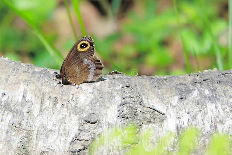 Download Papillon d'oeil image stock. Image du papillons, papillon - 76084937