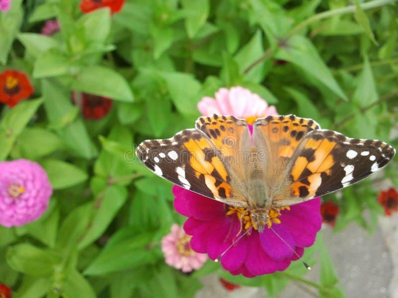 Papillon d'urticae d'Aglais image libre de droits